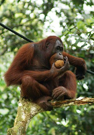 BBKSDA Geram, Pemkab Taput Lepasliarkan Orangutan Diam-diam