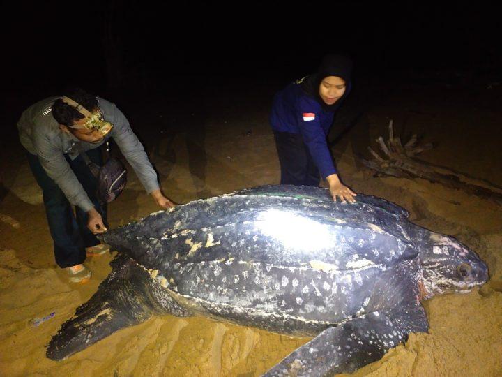 Fenomena Langka, Penyu Belimbing Raksasa Muncul di Pantai Paloh
